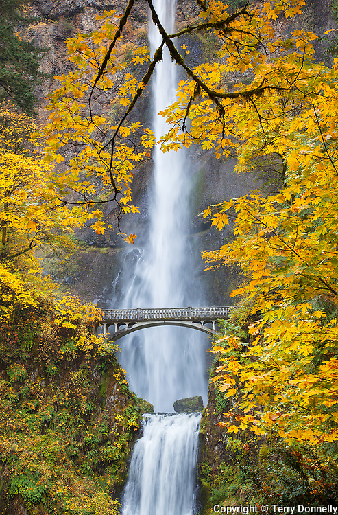 Columbia Gorge National Scenic Area, OR<br /> Big leaf maples in fall color surrounding Multnomah Falls with Lower Multnomah Falls below