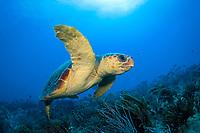 Loggerhead Sea Turtle Caretta caretta in Palm Beach County, Florida.