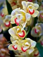 Close up of Cymbidium orchid. Oregon