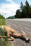 Dead pregnant female deer on roadside