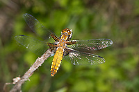 Plattbauch, Weibchen, Plattbauch-Libelle, Plattbauchlibelle, Libellula depressa, Broad-bodied Chaser, Broadbodied Chaser, broad bodied chaser, broad-bodied darter, broad bodied darter, female, La libellule déprimée