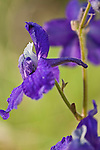 Larkspur wildflower close up in Montana
