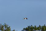 Common loon flying