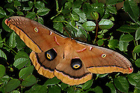 The Polyphemus Moth (Antheraea polyphemus) is a North American member of the family Saturniidae, the giant silk moths. Newly emerged male.