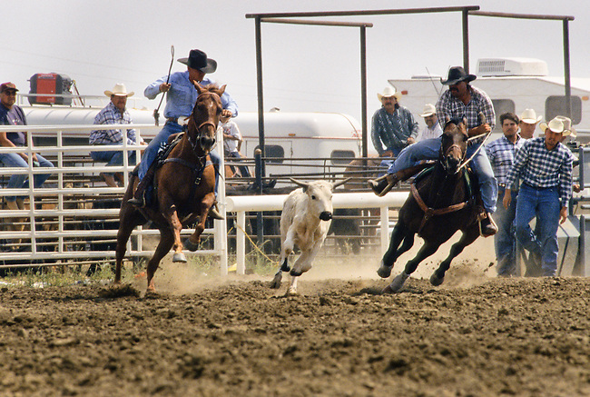 Chippewa-Cree cowboys get ready to bulldog a calf during the all-Indian Sybil Sangrey Colliflower Memorial Rodeo on the Rocky Boy Reservation, home to the Chippewa-Cree Indians.