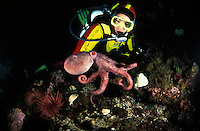 ma41. Pacific Giant Octopus (Enteroctopus dofleini). baby interacts with female scuba diver (model released). Pacific Northwest..Photo Copyright © Brandon Cole. All rights reserved worldwide.  www.brandoncole.com..This photo is NOT free. It is NOT in the public domain. This photo is a Copyrighted Work, registered with the US Copyright Office. .Rights to reproduction of photograph granted only upon payment in full of agreed upon licensing fee. Any use of this photo prior to such payment is an infringement of copyright and punishable by fines up to  $150,000 USD...Brandon Cole.MARINE PHOTOGRAPHY.http://www.brandoncole.com.email: brandoncole@msn.com.4917 N. Boeing Rd..Spokane Valley, WA  99206  USA.tel: 509-535-3489