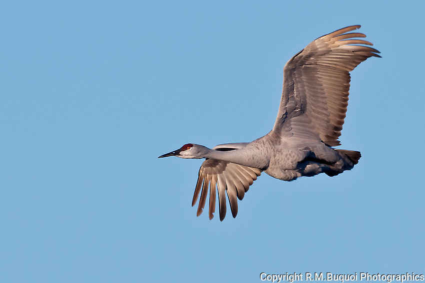 Sandhill Crane Flying with feet tucked up in feathers