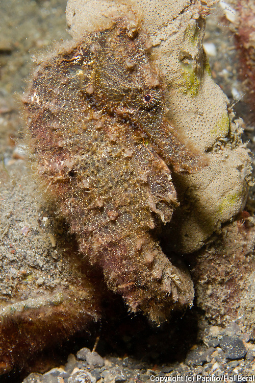 Estuary Seahorse.(Hippocampus kuda).Lembeh Straits,Indonesia