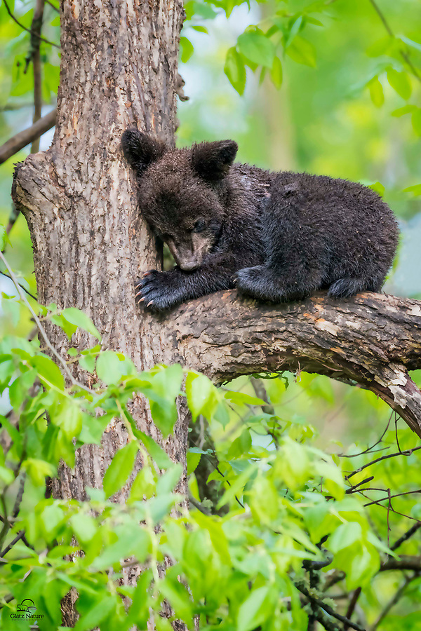 This soggy, tiny Black Bear (Ursus americanus) is oblivious to the outside world while it naps comfortably in the crook of a large tree.