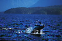 nb113. Pacific White-sided Dolphin (Lagenorhynchus obliquidens) leaping. British Columbia, Canada, Pacific Ocean..Photo Copyright © Brandon Cole.  All rights reserved worldwide.  www.brandoncole.com..This photo is NOT free. It is NOT in the public domain...Rights to reproduction of photograph granted only upon payment of invoice in full.  Any use whatsoever prior to such payment will be considered an infringement of copyright...Brandon Cole.Marine Photography.http://www.brandoncole.com.email: brandoncole@msn.com.4917 N. Boeing Rd..Spokane Valley, WA 99206   USA..tel: 509-535-3489