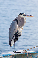 Great-Blue Heron, Loreto, Baja Sur, Mexico