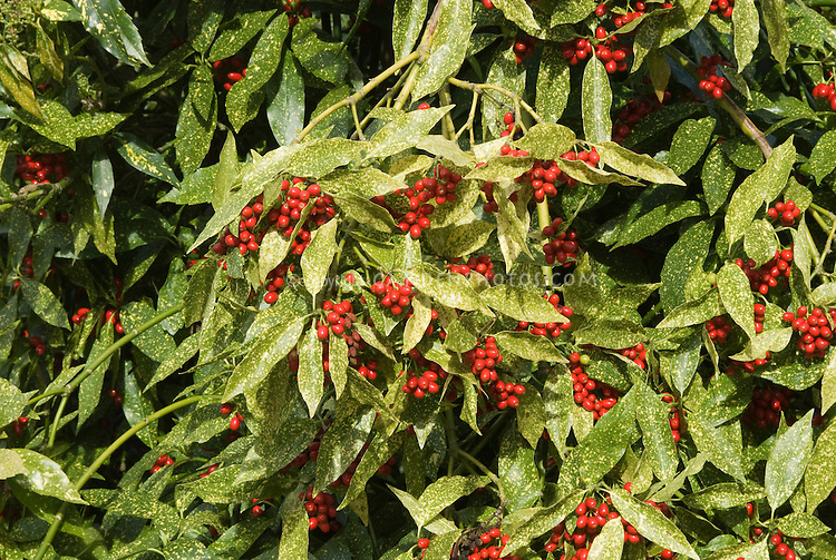 Aucuba japonica 'Variegata' in red berries
