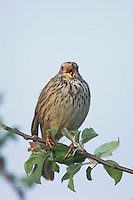 Corn Bunting, Miliaria calandra, adult singing, National Park Lake Neusiedl, Burgenland, Austria, April 2007