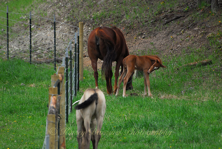 Mare and foal graze along the fence line.