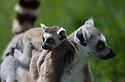 16/05/16<br /> <br /> &quot;I love my mum&quot;<br /> <br /> Three baby ring-tail lemurs began climbing lessons for the first time today. The four-week-old babies, born days apart from one another, were reluctant to leave their mothers&rsquo; backs to start with but after encouragement from their doting parents they were soon scaling rocks and trees in their enclosure. One of the youngsters even swung from a branch one-handed, at Peak Wildlife Park in the Staffordshire Peak District. The lesson was brief and the adorable babies soon returned to their mums for snacks and cuddles in the sunshine.<br /> All Rights Reserved F Stop Press Ltd +44 (0)1335 418365