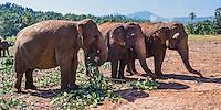 Panoramic photo of elephants at Pinnawala Elephant Orphanage, Sri Lanka, Asia. This is a panoramic photo of elephants at Pinnawala Elephant Orphanage, Sri Lanka, Asia.