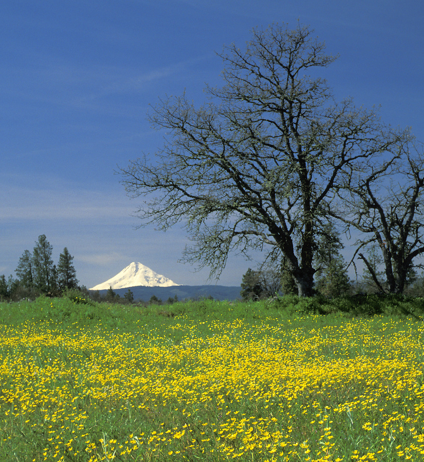 Mount Hood and field of western buttercups, Mosier, Oregon.