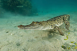 """Saltwater crocodile, crocodylus porosus is the largest of all living crocodilians and reptiles. It is found in suitable habitat throughout Southeast Asia, Northern Australia, and the surrounding waters. Saltwater crocodiles are known in the Northern Territory of Australia as """"salties""""."""