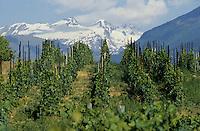 Europe/Italie/Val d'Aoste/Aoste;  Vignoble de Torette , vins de montagne du Val d'Aoste et en fond le Glacier du  Ruitor