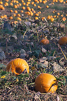 Pumpkins in the Field at Harvest Time