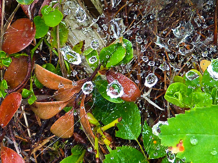 Raindrops caught in spider webs attached to forest plants creating crystal gems.
