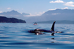 Orca whale, sea kayakers, Johnstone Strait, Vancouver Island, Canada,