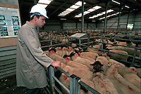 Government appointed meat hygiene service meat inspector at work in an abattoir. He is supervising the livestock entering the holding pens.