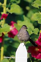 01392-01418 Gray Catbird (Dumetella carolinensis) on picket fence near Hollyhocks (Alcea rosea) Marion Co.  IL