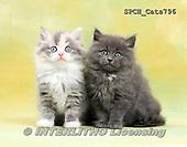 Xavier, ANIMALS, REALISTISCHE TIERE, ANIMALES REALISTICOS, cats, photos+++++,SPCHCATS796,#a#