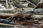 North American River Otter, Madison River, Yellowstone National Park, Wyoming