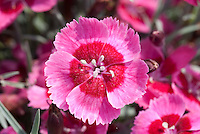 Dianthus India Star in pink flowers with red eye