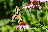 03017-01518 Giant Swallowtail (Papilio cresphontes) on Purple Coneflower (Echinacea purpurea) Marion Co. IL