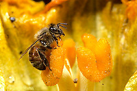 1B01-041a   Honeybee pollinating pumpkin flower - Apis.melllifera
