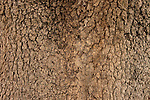 Israel, the Upper Galilee. The bark of an Atlantic Pistachio (Pistacia Atlantica) tree at the Muslim cemetery in Tuba-Zangria<br />