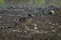 Turkey vulture, Cathartes aura, on shore of Pena Blanca Lake, Coronado National Forest, Arizona