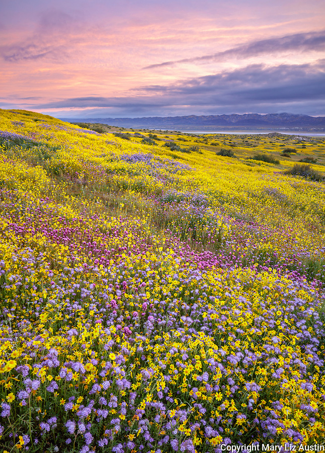 Carrizo Plain National Monument, CA: Monolopia, Owl's-clover and phacelia covering a gentle slope at sunrise with Temblor Range in the distance