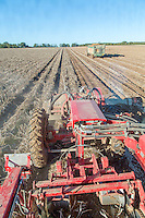 Harvesting Jelly potatoes into boxes with a Grimme 220 Varitron - Norfolk, October
