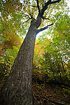 350 year old Chestnut Oaks, Globe forest in autumn, proposed Grandfather Scenic Area, Pisgah National Forest