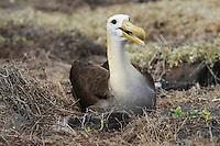 Galapagos Albatross (Diomedea irrorata), adult on nest, Espanola Island, Galapagos, Ecuador, South America