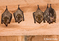 0715-1105  Seba's Short-tailed Bat, Roosting in Building in Belize, Carollia perspicillata  © David Kuhn/Dwight Kuhn Photography