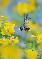 Ruby-throated Hummingbird (Archilochus colubris), female in flight feeding on Yellow bells (Tecoma stans) flower, Hill Country, Texas, USA