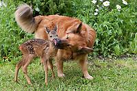 Rehkitz, Reh-Kitz, verwaistes, pflegebedürftiges Jungtier wird in menschlicher Obhut großgezogen, Hund leckt das Kitz sauber, Freundschaft zwischen Hund und Rehkitz, Tierkind, Tierbaby, Tierbabies, Europäisches Reh, Ricke, Weibchen, Capreolus capreolus, Roe Deer, Chevreuil