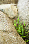A delicate maidenhair fern sits tucked amid the rocks.