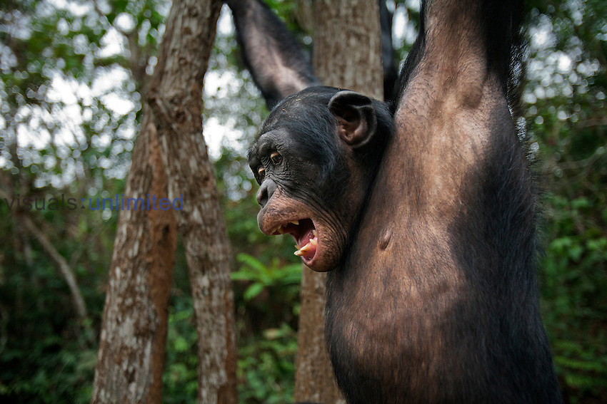 Bonobo mature male swinging from a branch (Pan paniscus), Lola Ya Bonobo Sanctuary, Democratic Republic of Congo.