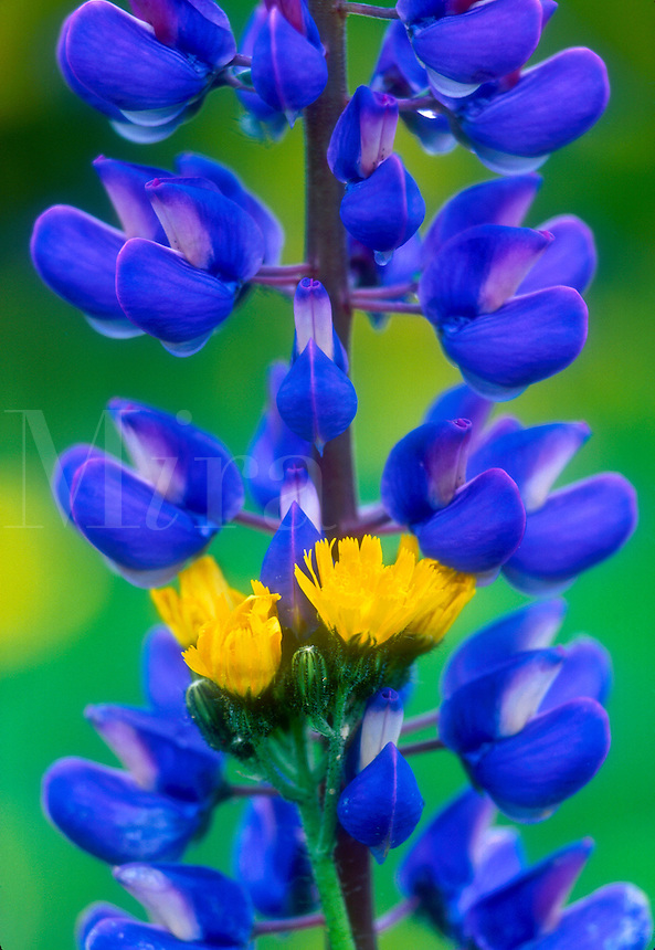 close up detail of a purple lupine with yellow hawkweed