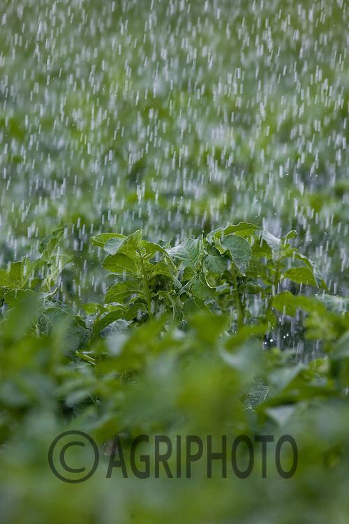 7.6..2011 Potatoes being irrigated.© Tim Scrivener 07850 303986