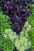 Herb garden, Origanum variegated oregano 'Country Cream' growing next to regular oregano, Perilla frutescens crispa with dark purple - Asian Shiso - foliage leaves, mixture variety