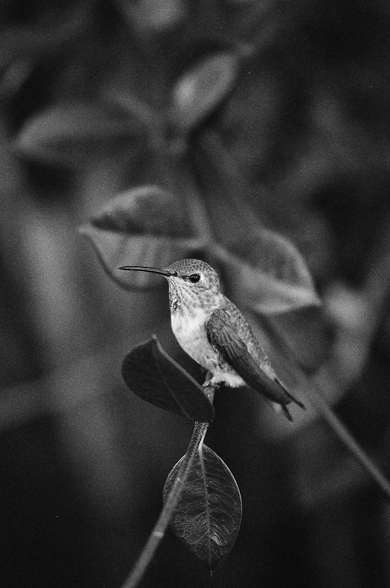 Hummingbird  Summer 2018 , 35mm film.