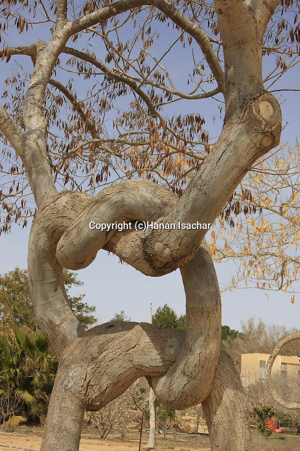 "Israel, Negev. The ""Pretzel Tree"" shaped by Aharon Naveh at Kibbutz Revivim"