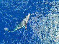An aerial view of a humpback whale, Megaptera novaeangliae, just below the surface, Hawaii.